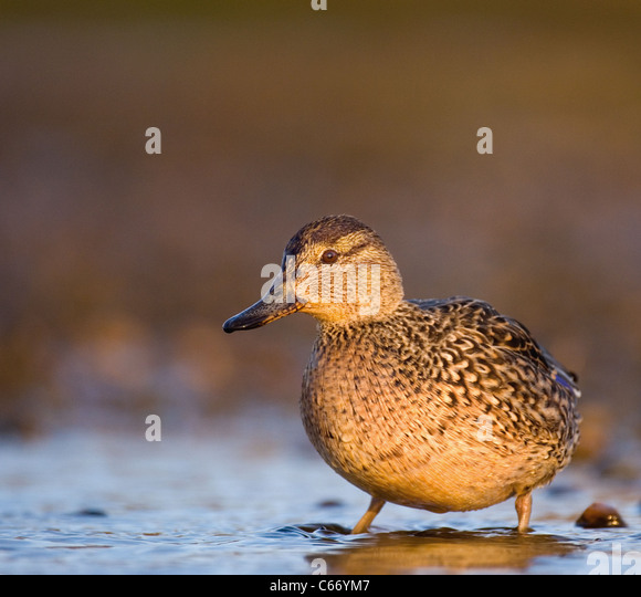 TEAL Anas crecca Profile of an adult female on the fringes of a shallow tidal lagoon. Norfolk, UK. Photographer.Andrew - Stock-Bilder