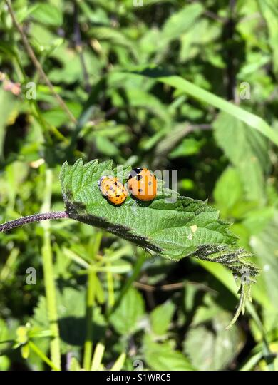 Ladybird and pupa larva on a green leaf - Stock Image