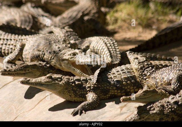 south africa oudtshoorn game park crocodiles - Stock Image