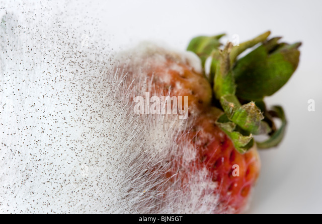 Pin mould mucor growing on Strawberry - Stock Image