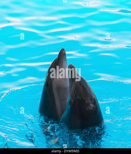 Two dolphins looking out of the water, Loro Parque zoo, Puerto de la Cruz, Santa Cruz de Tenerife, Tenerife, Canary - Stock Image