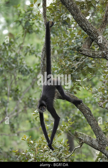 Central American Spider Monkey (Ateles geoffroyi), adult using prehensile tail, Belize. - Stock Image