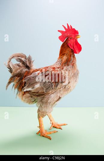 Rooster standing studio - Stock Image