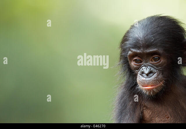 Bonobo (Pan paniscus) male baby 'Ombwe' aged 1 year, portrait, Lola Ya Bonobo Sanctuary, Democratic Republic - Stock-Bilder