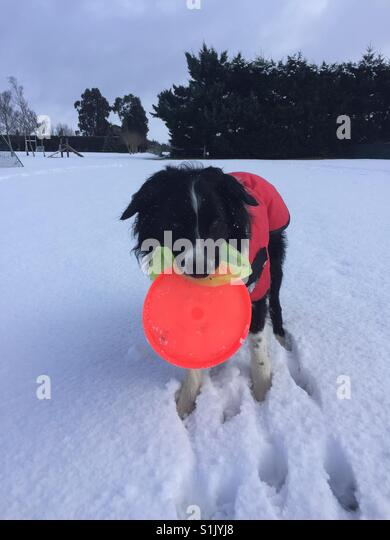 Dog in snow with frisbees - Stock Image