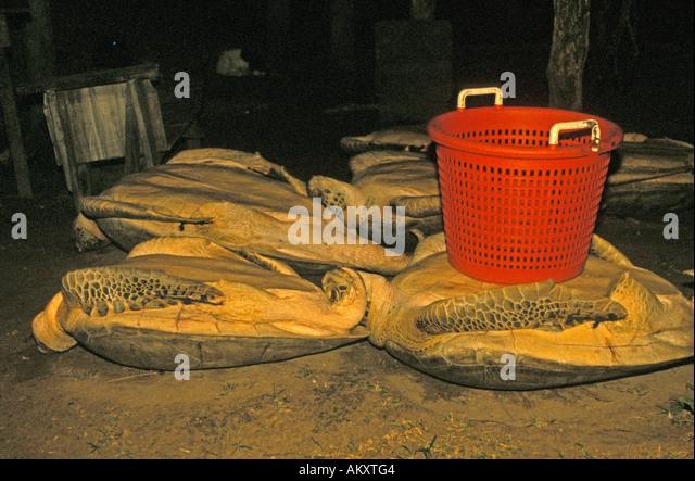 Nicaragua Miskito Coast Sandy Bay Indian green sea turtle harvest - Stock Image