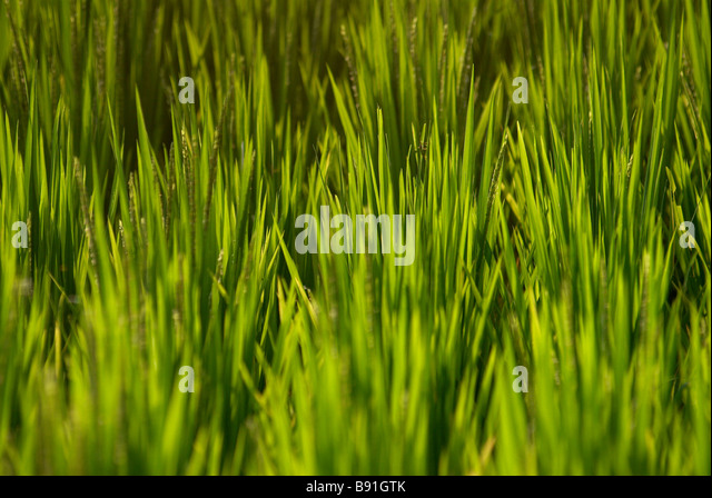 Rice growing in field - Stock Image