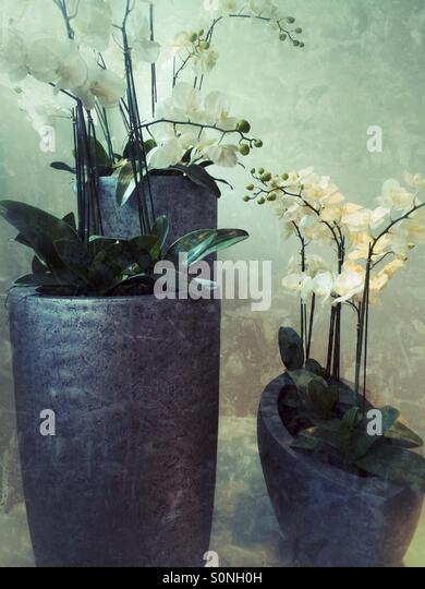 Orchid flowers in pots - Stock Image