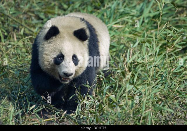 Giant Panda in the bamboo bush Wolong Sichuan China - Stock Image