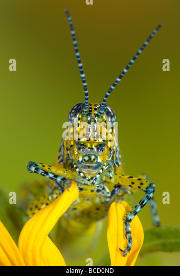 PANTHER-SPOTTED GRASSHOPPER (Poecilotettix pantherinus) native to southern Arizona and northwestern Mexico. - Stock-Bilder
