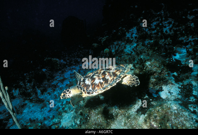 Immature Loggerhead Sea Turtle Swimming Underwater - Stock Image