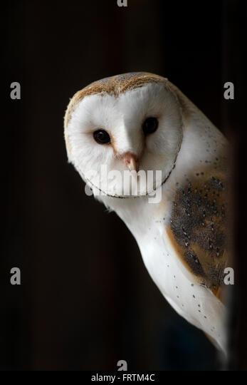 Barn Owl Tyto alba single portrait peering out from door in Cornwall, UK - Stock Image