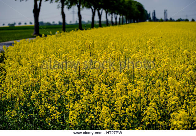Artistic photo of yellow rapeseed field and tree alley, with partial clarity. - Stock Image