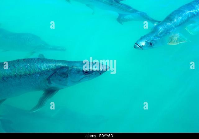 tarpon fish swimming in water near Islamorada, Florida Keys, Florida, USA - Stock Image
