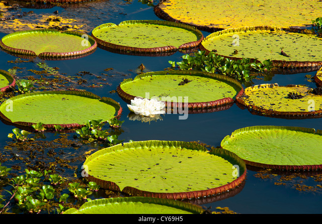 The vitória-régia is a giant water lily actually the largest and is a impressive floating plant typical - Stock Image