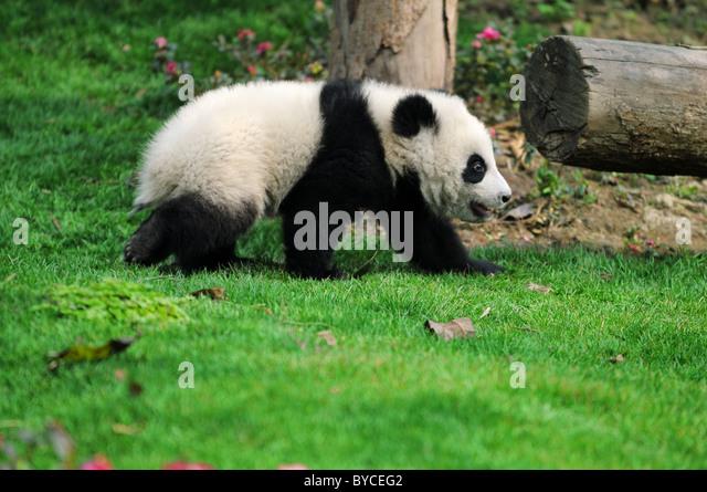 walk panda - Stock Image