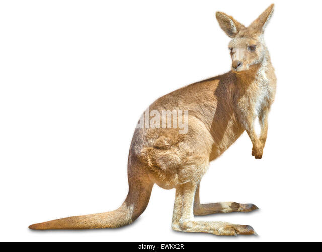 Kangaroo isolated - Stock Image