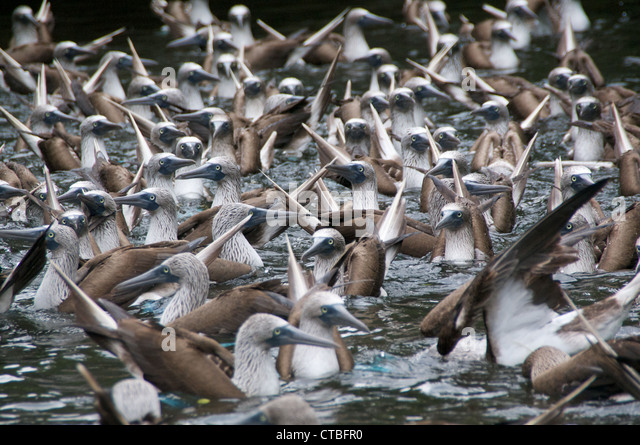 A flock of Blue-footed Boobies (Sula nebouxii) in the midst of a feeding frenzy in a cove off of Santa Cruz, Galapagos - Stock-Bilder