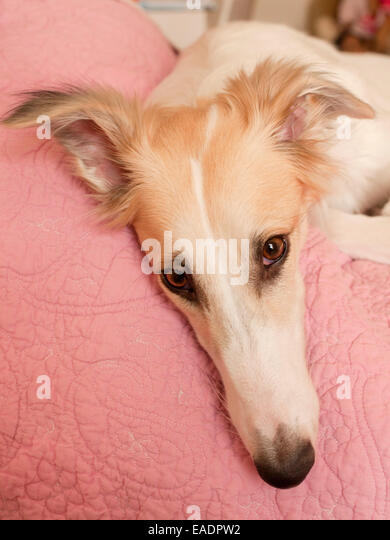 dog resting head on bed - Stock Image
