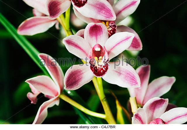 Cymbidium - Orchid - Stock Image