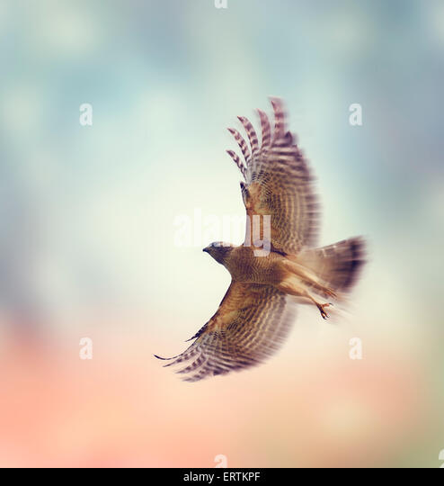 Red Shouldered Hawk In Flight - Stock Image