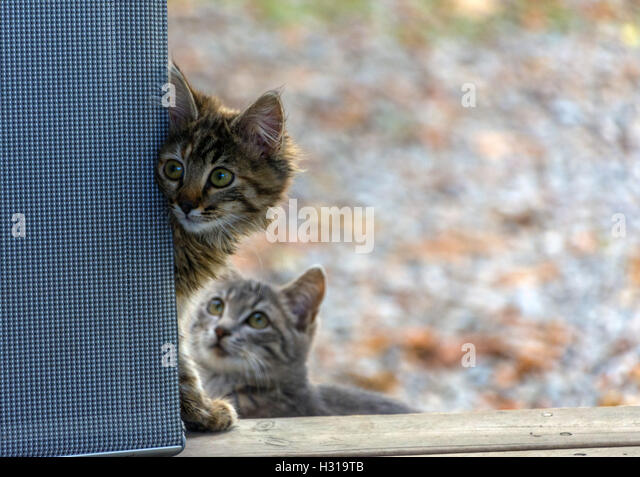 Timid feral tabby cat looking round corner, scared, autumn colours colors behind - Stock Image