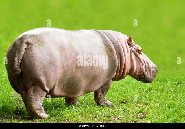 hippopotamus on green grass - Stock-Bilder
