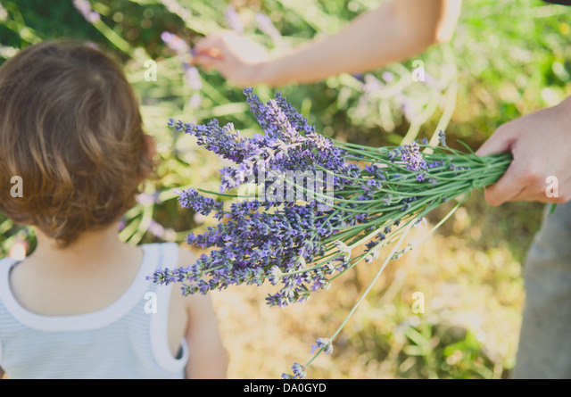 Harvesting lavender in summer - Stock Image