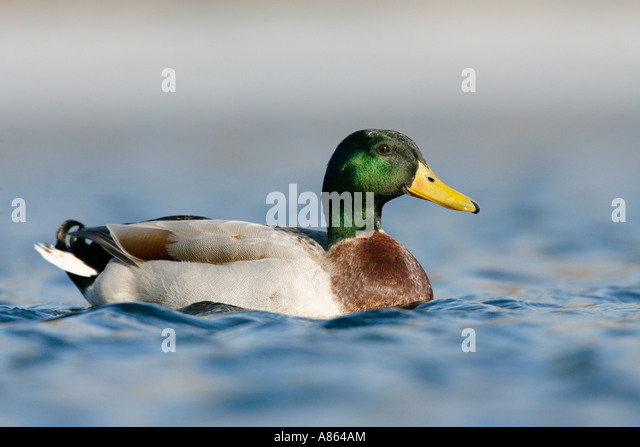 Mallard Duck - Stock Image