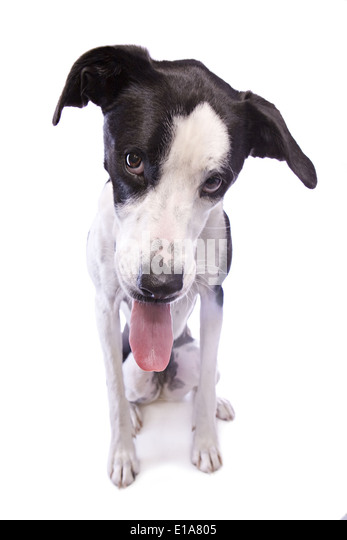 Bashful or sad Black and white Great Dane mix dog with tongue out isolated on white background - Stock Image