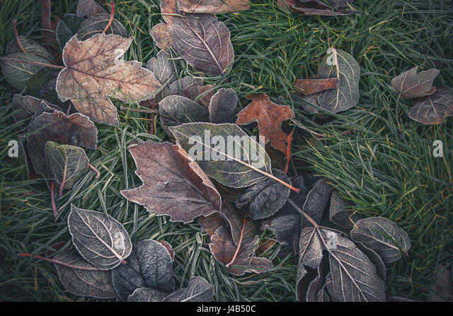 Frozen leaves from various trees in beautiful autumn colors in a garden on a cold morning in the fall - Stock Image
