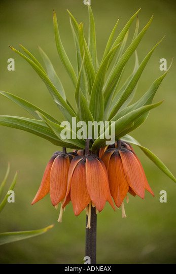 Crown Imperial (Fritillaria imperialis) close-up - Stock Image
