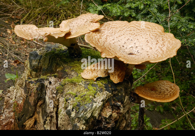Dryad's Saddle Fungus growing on decaying tree trunk photographed in Northumberland during May - Stock Image