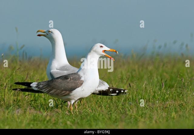 Lesser Black-backed Gull (Larus fuscus). Calling adult in summer plumage standing on grass with Herring Gull (Larus - Stock-Bilder