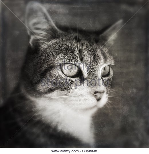 Cat Portrait with a Distressed Grunge Effect - Stock Image
