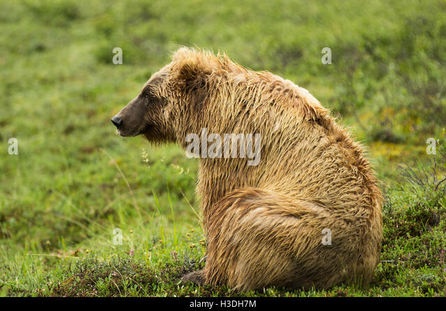 Grizzly bear sitting up - photo#36