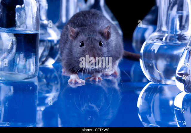 Rats in laboratory. Experiments on animals - Stock Image