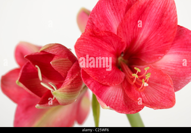 Amaryllis hippeastrum stock photos amaryllis hippeastrum for Amaryllis royal red arrosage