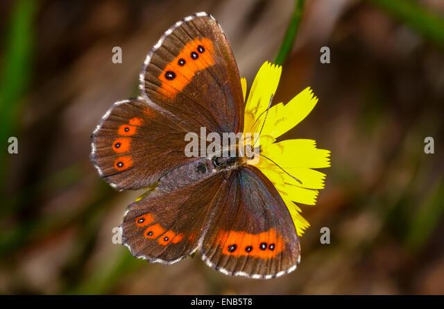 arran brown, erebia ligea - Stock Image