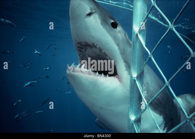 Great White Shark (Carcharodon carcharias) attacking protective shark diving cage, Dangerous Reef, South Australia - Stock Image
