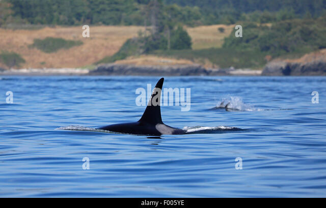 orca, great killer whale, grampus (Orcinus orca), swimming male, Canada, Victoria, Haro Strait - Stock Image