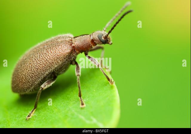Macro of a brown Weevil - Stock Image