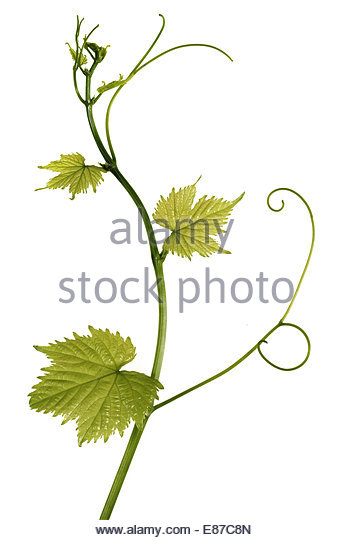 Fresh Grape leaves on white background - Stock Image