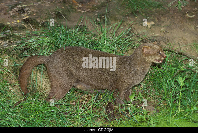 JAGUARUNDI herpailurus yaguarondi, ADULT ON GRASS - Stock Image
