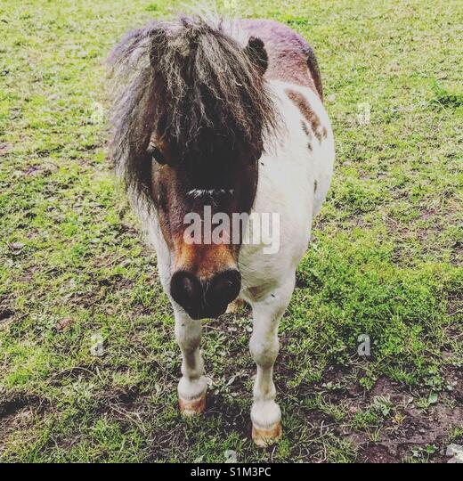 Pony in a farm - Stock Image