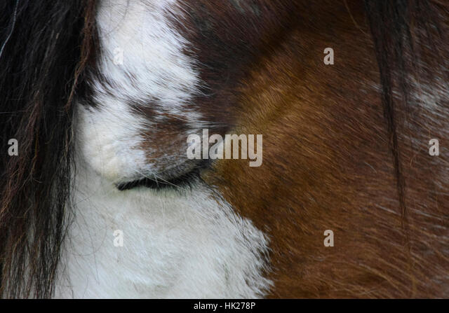 clydesdale stock photos amp clydesdale stock images alamy