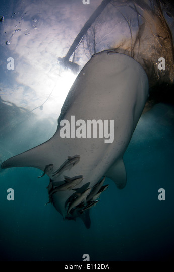 Whale shark below the nets of the bagan (fishing boat with platform and nets), Cenderawasih Bay, New Guinea (Rhincodon - Stock-Bilder