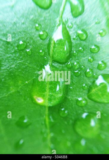 Droplets on leaf - Stock Image