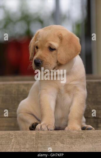 Yellow Labrador Retriever puppy sitting on step - Stock Image