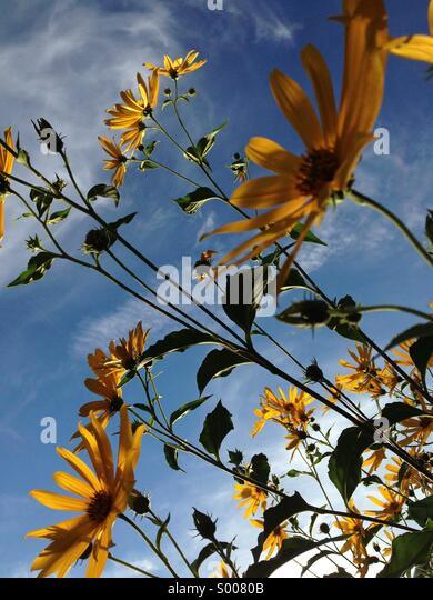 Black-eyed Susans in sunshine. - Stock Image
